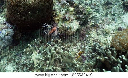 Lionfish Pterois Miles Fish And Coral Reef. Tropical Fish On A Coral Reef. Wonderful And Beautiful U