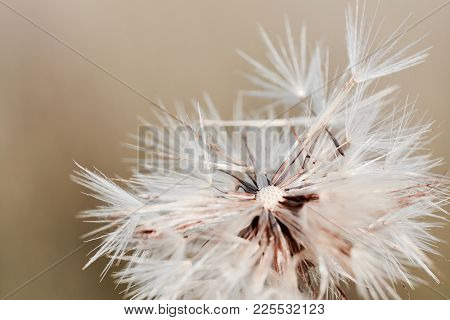 Macro Shot Of Dandelion Seeds. Dandelion Seeds In Nature.