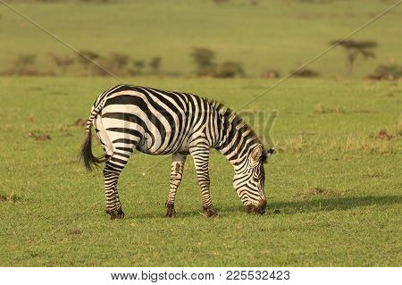 zebra on the grasslands of the Maasai Mara, Kenya