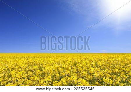 Yellow Fields And Blue Bright Sunny Sky. Rapeseed In The Farmland.