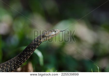 Checkered Keelback Snake In Forest