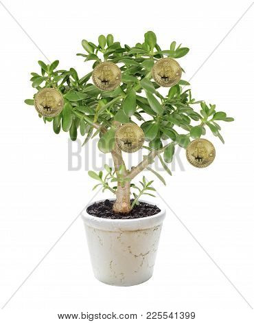Allegory Of The Farm For Growing Bitcoins: House Plant Crassula Flower, Succulent Plant With Golden