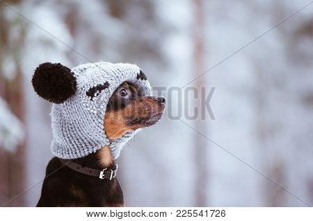 Funny Puppy, A Dog In A Winter Hat With Pumples In A Snowy Forest. A Dog In Clothes .. Space For Tex