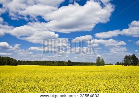 Yellow field and clouds