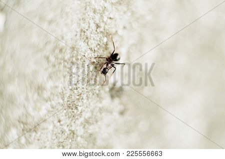 Close-up Of A Brown Ant On An Out-of-focus Background.