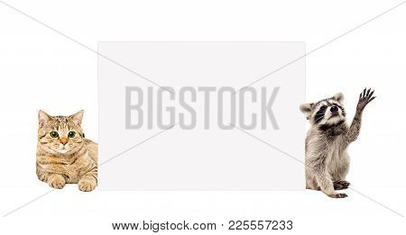 Cat Scottish Straight And Funny Raccoon, Peeking From Behind Banner, Isolated On White Background