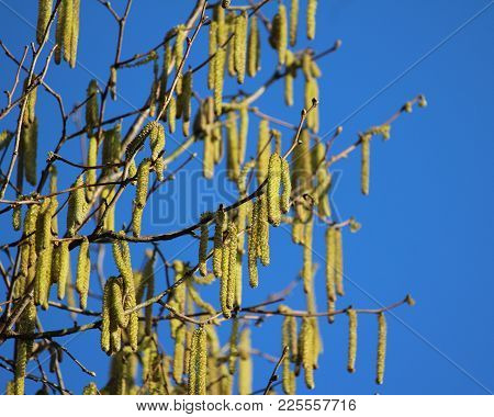 The Bright Yellow Male Catkins Of The Hazel Tree (corylus Avellana), Against A Background Of Blue Sk
