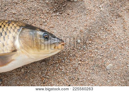 Fish Head In The Sand, Carp, Background