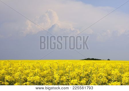 Yellow Rape Fields In The Farmland. Clouds In The Background.