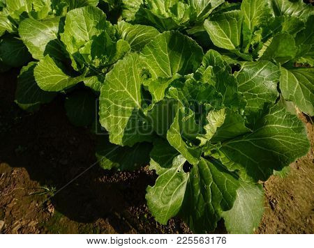 Growing Cabbage And Lettuce On A Bed On A Farmland
