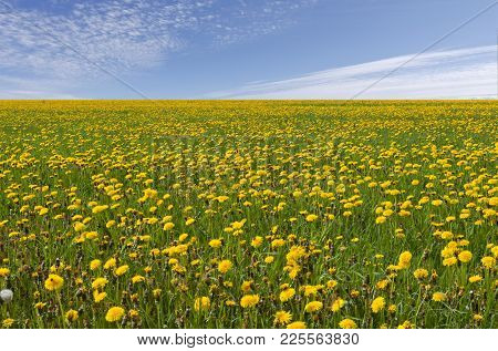 Fields Of Dandelion On The Plain. Blue Sky And Clouds In The Background.