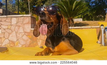 Dog With Long Ears Wearing Sunglasses Against The Pool.