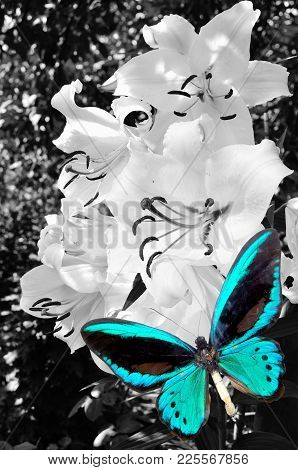 Brown Butterfly And White Lily On Wooden Background