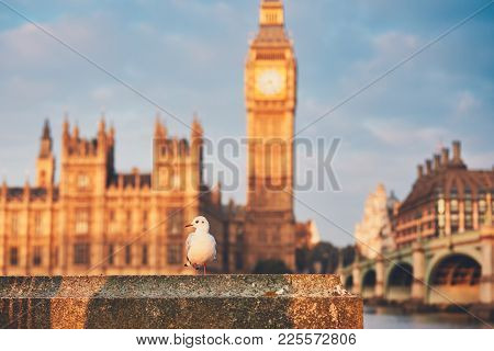 Seagull Against Big Ben And Houses Of Parliament At Morning Light. London, United Kingdom.