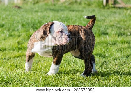 Funny Nice Tiger Coat American Bulldog Puppy Close Up On Nature