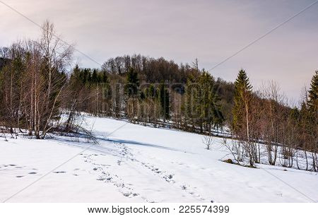 Mixed Forest Leafless Birch And Coniferous Trees On Snowy Slope. Lovely Mountainous Landscape In Spr