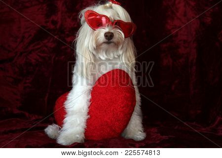 Maltese dog poses for a Valentines Day portrait against a burgundy red velvet background.