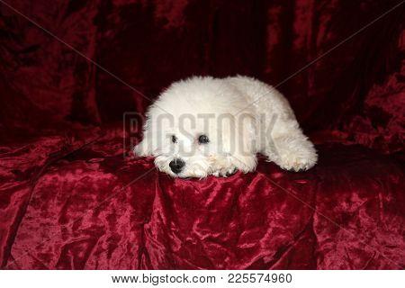 Bichon Frise puppy portrait on red burgundy velvet background
