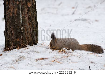 Gray Squirrel Digging In The Snow In Search Of Food