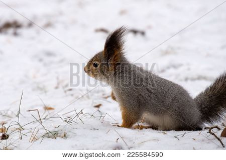 A Gray Squirrel Sits In The Snow In The Winter Forest, Wild Nature