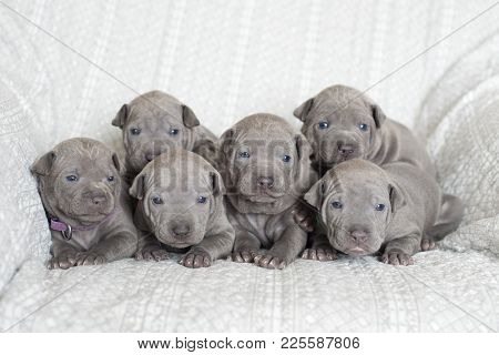group of small thai ridgeback puppies posing together