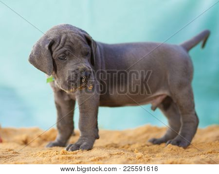 Purebred Great Dane Puppy Looking At Something On The Sand