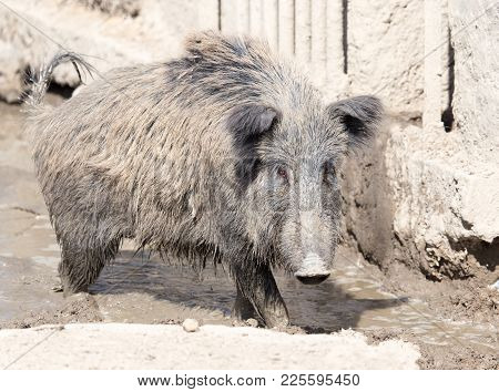 Wild Boar In The Mud In The Zoo .