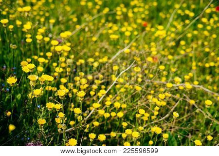 Beautiful Yellow Small Flowers On A Background Of A Field