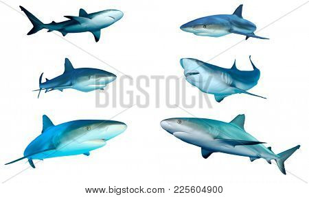 Sharks cutout on white. Caribbean and Grey Reef Sharks isolated