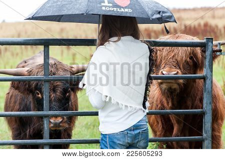 I Love Scotland! Joung Girl Meeting Two Highland Scottish Hairy Cows On Pasturage At Rainy Day. Colo