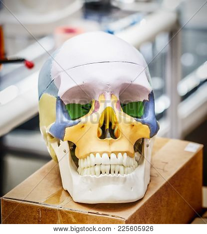Anatomy Human Skull Model With Color Scheme