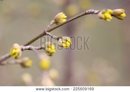 Cornus Officinalis, Japanese Cornel Or Japanese Cornelian Cherry Or Cornelian Cherries In The Early