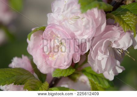 Sakura, Cherry Blossom, Cherry Tree With Flowers. Oriental Cherry Blooming. Spring Background With F