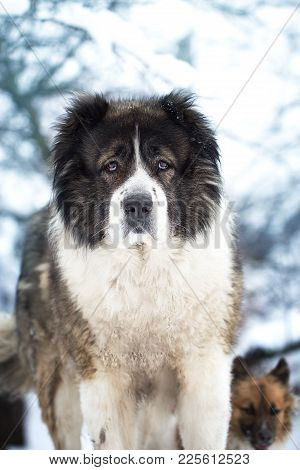 Adult Caucasian Shepherd Dog Outside On A Sunshine Winter Day. Adult Caucasian Shepherd Dog.
