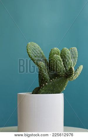 A Potted Beavertail Pricklypear Cactus Plant In A White Pot Against A Teal Blue Background.