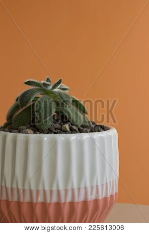 A Small, Fuzzy Echeveria Plant In A White And Peach Pot Against A Peach Colored Background.