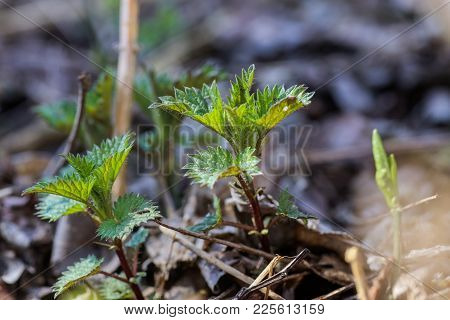 Urtica Dioica, Often Called Common Nettle, Stinging Nettle, Or Nettle Leaf, A Young Plant In A Fores