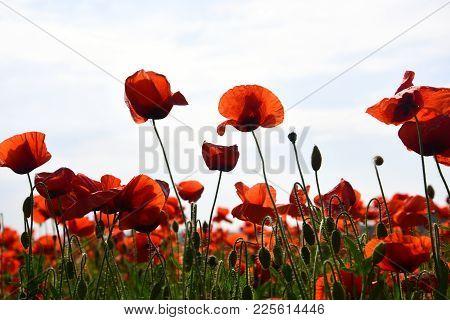 Drug And Love Intoxication, Opium, Medicinal. Poppy Flower Field, Harvesting. Opium Poppy, Botanical