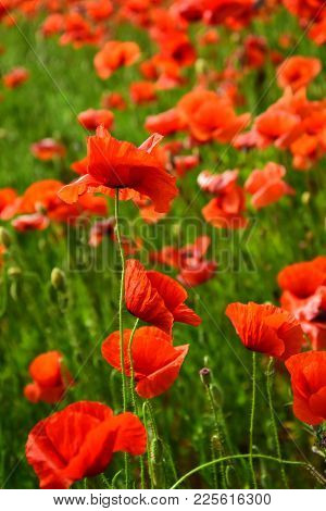 Remembrance Day, Anzac Day, Serenity. Drug And Love Intoxication, Opium, Medicinal. Poppy Flower Fie