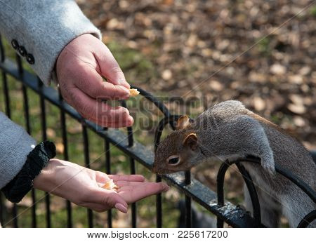 Beautiful Squirrel Sitting On A Rail And Feeding Nuts From A Human Hand.