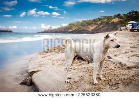 Dog having fun with waves at the beach of Bali island. Exotic landscape with scenic view of sea shore at sunny summer day in Indonesia. Ocean beach landscape, Bali, Indonesia. Ocean beach shoreline