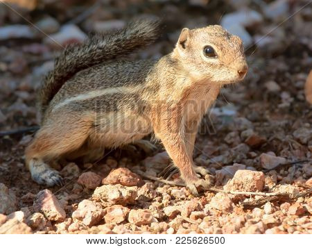 A Ground Squirrel Native To Arizona Watching Me Take His Photo.