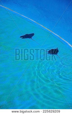 Two Stingrays Swimming In Blue Pool. Palma Aquarium, Majorca, Balearic Islands, Spain.
