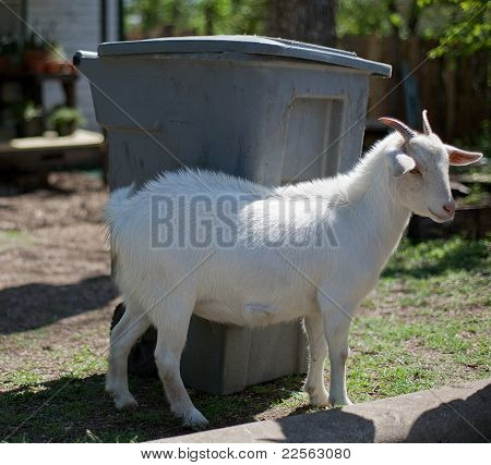 Goat next to garbage bin