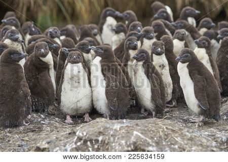 Rockhopper Penguin Chicks (eudyptes Chrysocome) Huddle Together In A Creche On Bleaker Island In The
