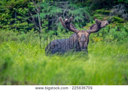 A Bull Moose Smiling Over The Long Grass Beside The Lake. Ontario, Canada.