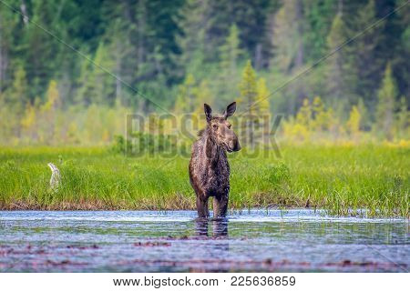 A Moose Cow Standing In The Marsh. Ontario, Canada.