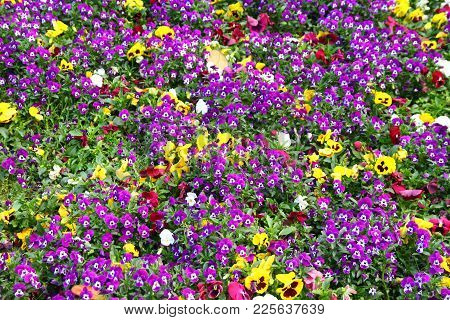Colorful Viola Tricolor Flowers Blooming In The Garden