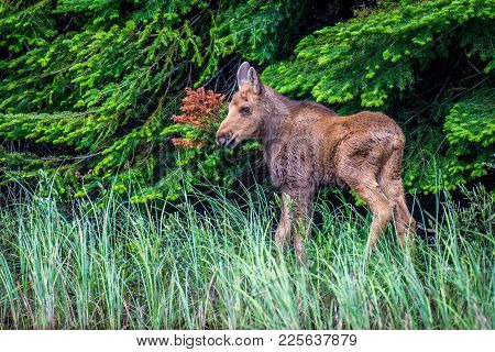 A Young Moose Calf Wandering The Edge Of The Forest. Ontario, Canada.