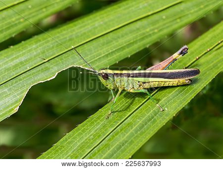 Macro Photography Of Grasshopper On Green Leaf In The Forest, Grasshopper A Plant-eating Insect With